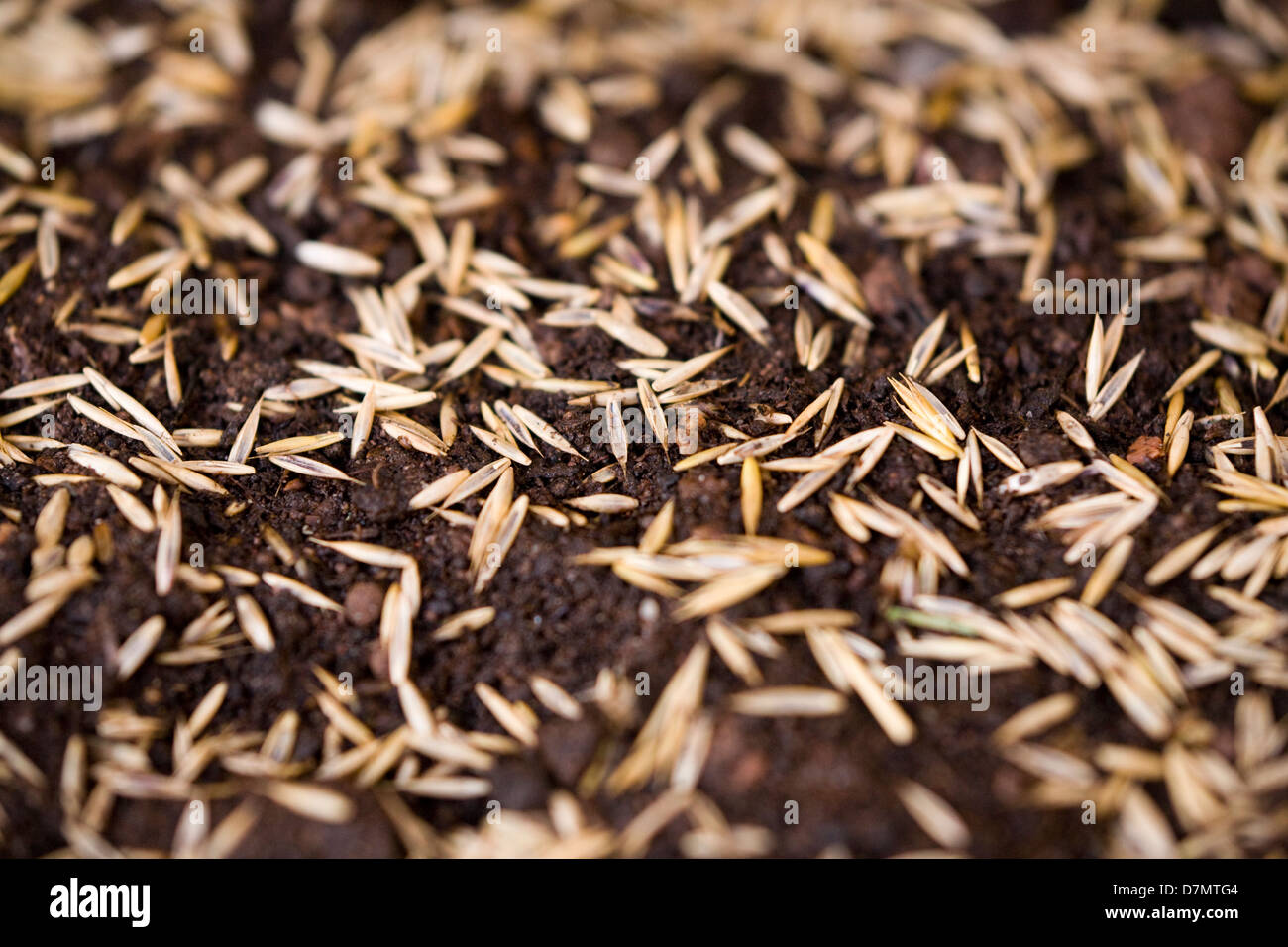 Grass seeds freshly sown on wet / moist / damp / watered top soil / compost and waiting to germinate. - Stock Image