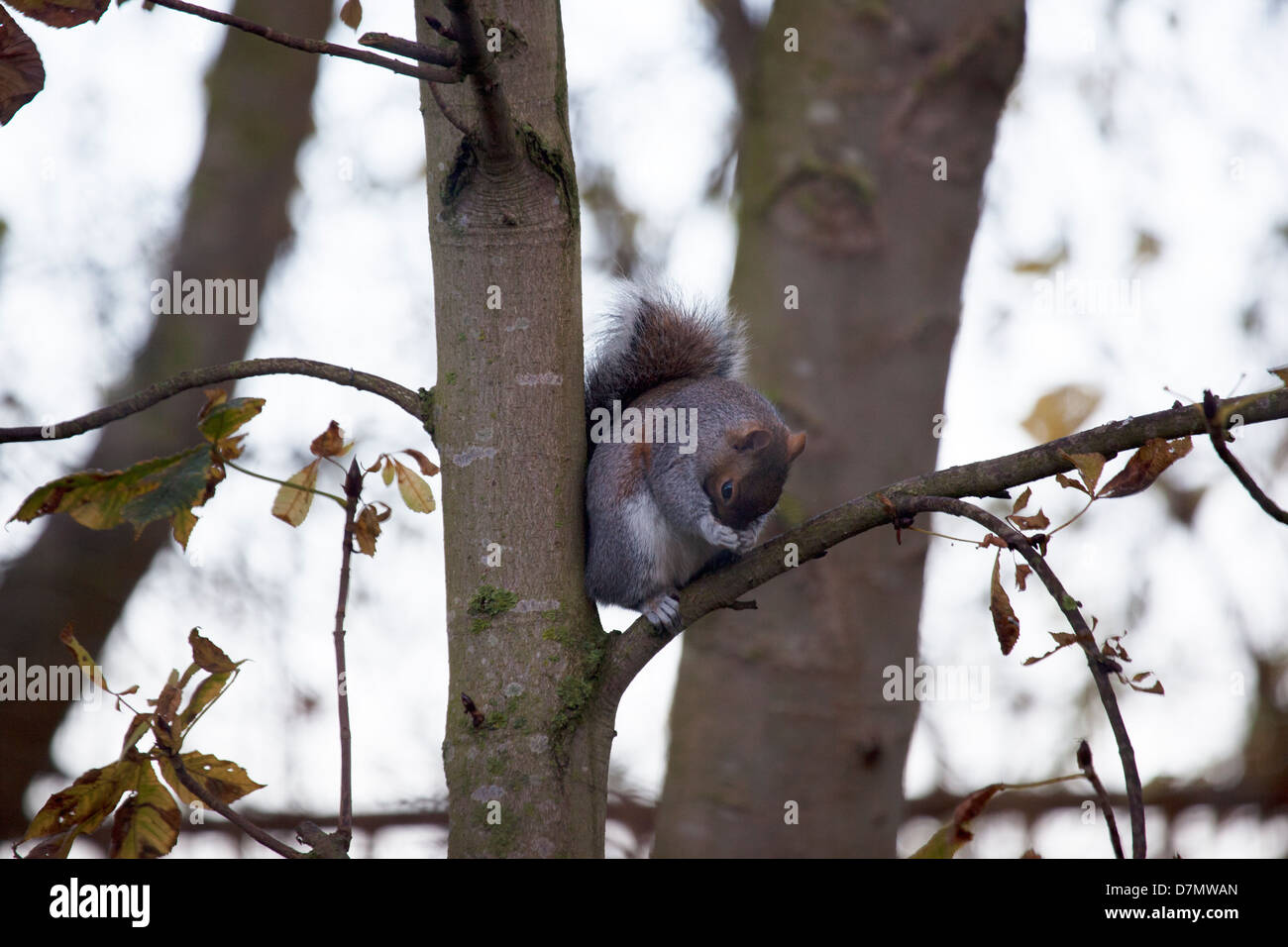 Grey squirrel in a tree - Stock Image