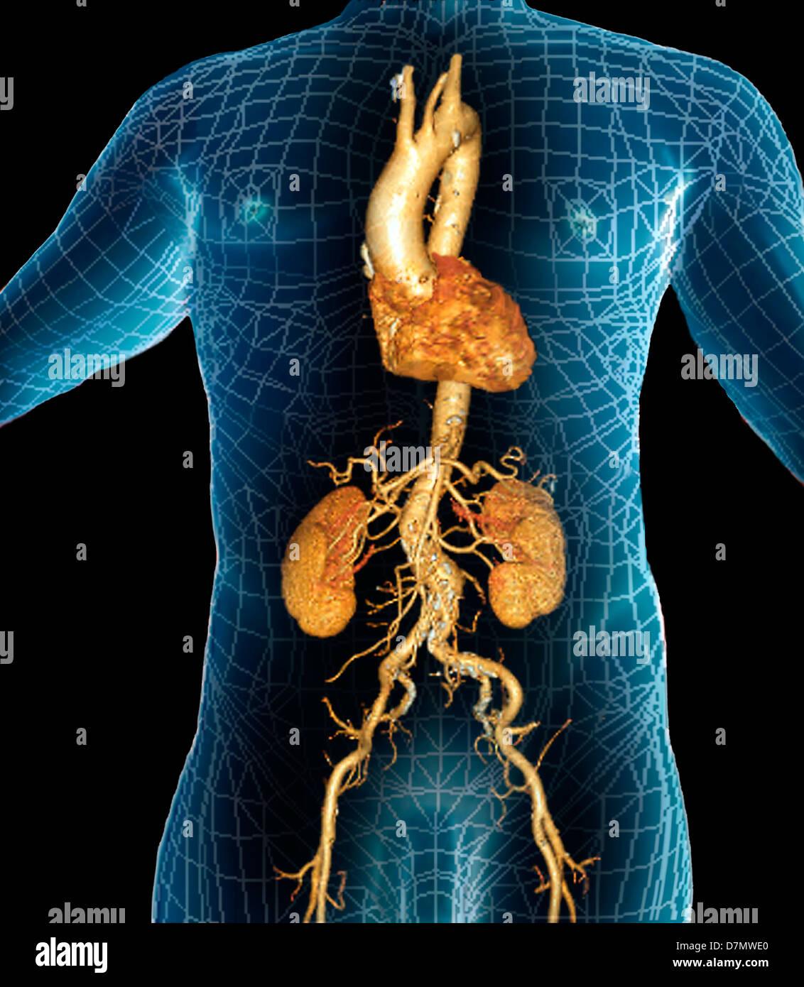 3d Abdomen Abdominal Anatomical Stock Photos & 3d Abdomen Abdominal ...