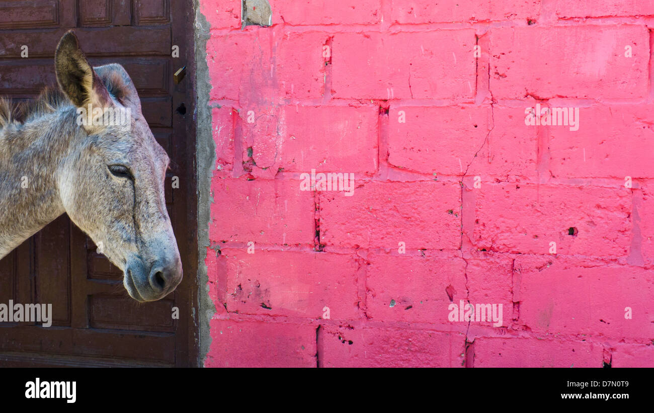 Donkey and pink wall. Baru town, island of Baru, near Cartagena, Colombia - Stock Image