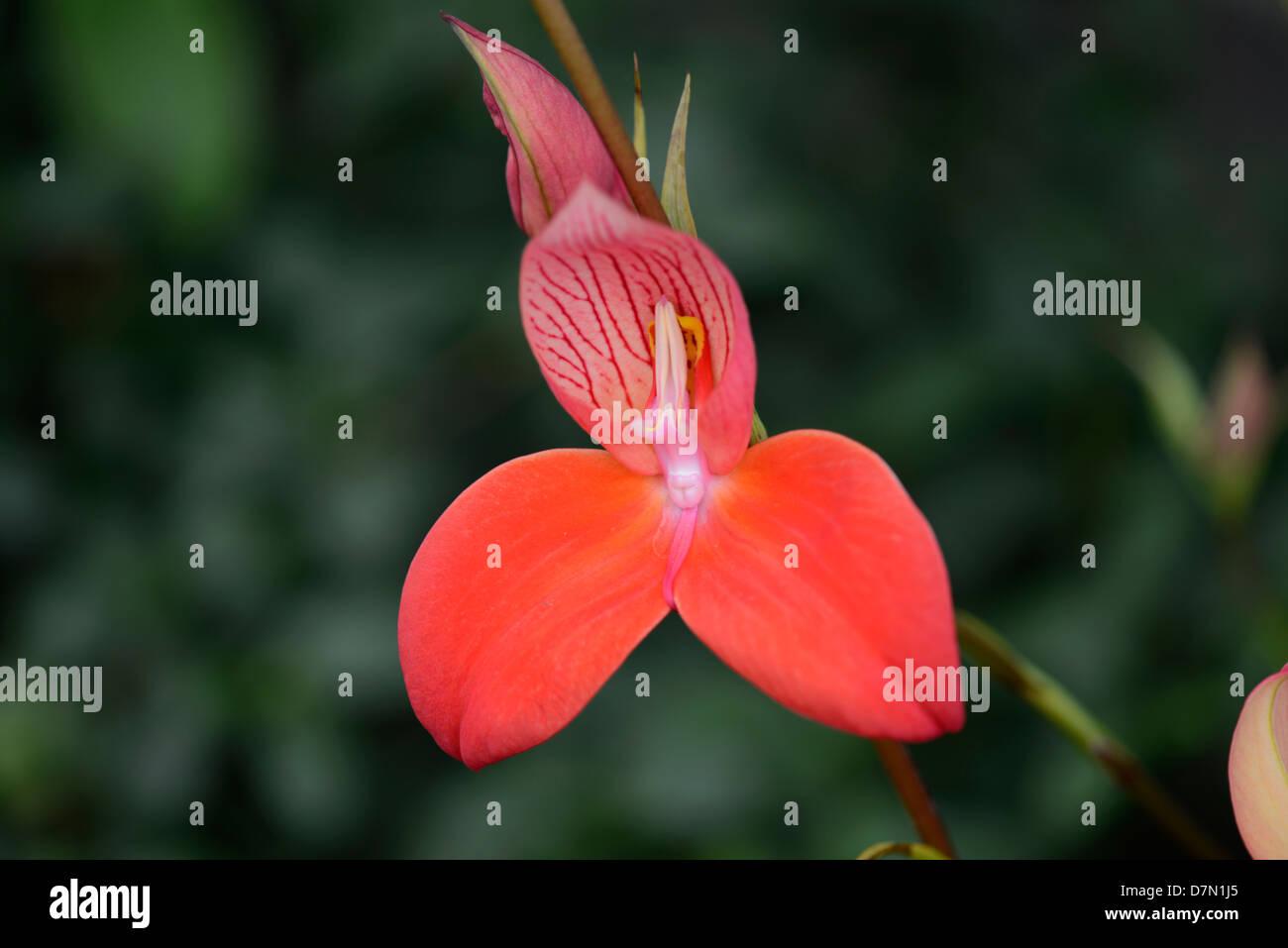 Orchidaceae - Stock Image