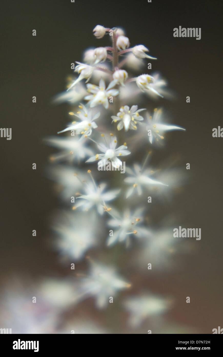 Spanish Cross Flowers -Tiarella , Foamflower perennial- Birch Trail Carmel, NY 06/2006 ©mak - Stock Image