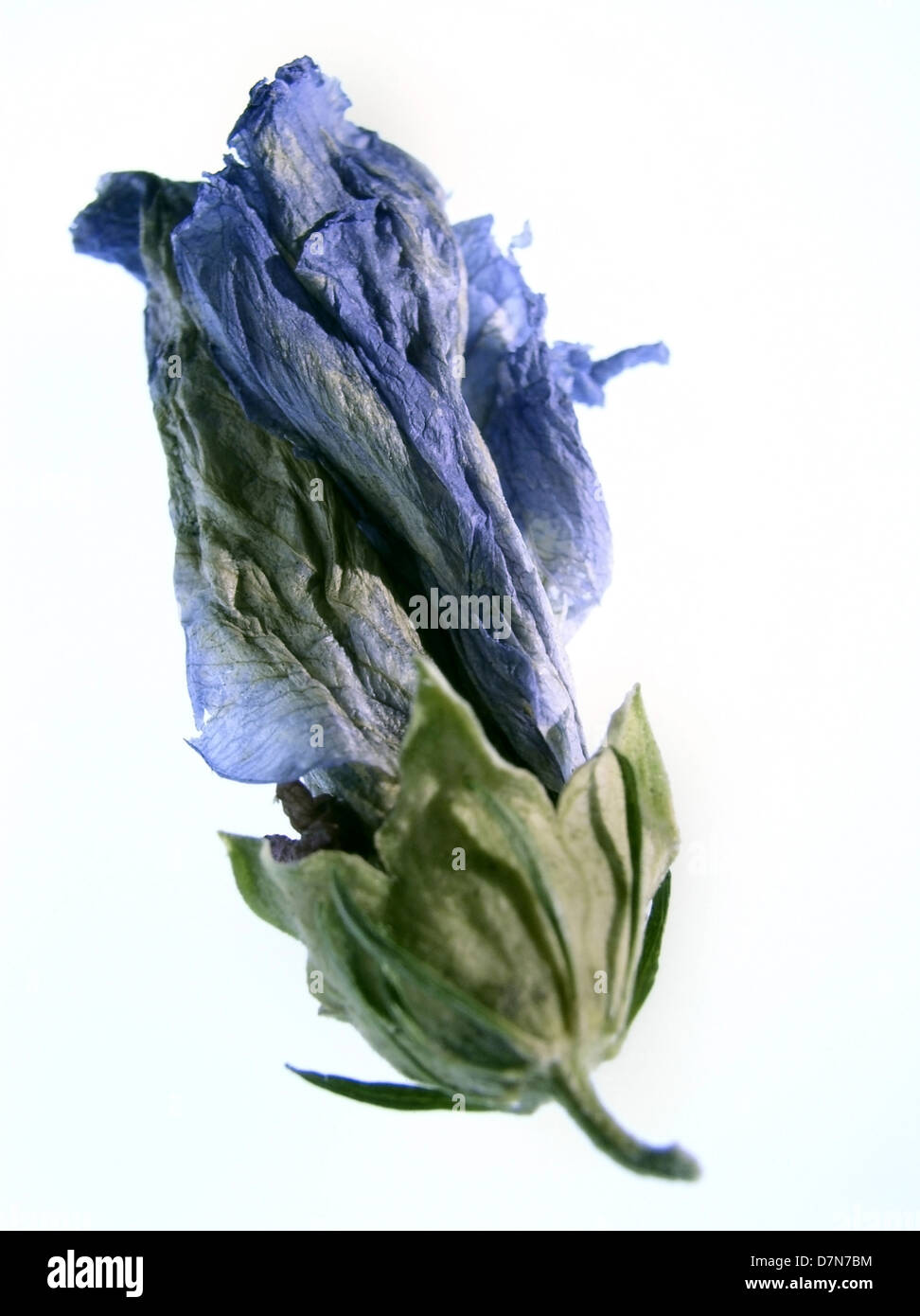 dried blue hibiscus flower bud on white, ©mak - Stock Image
