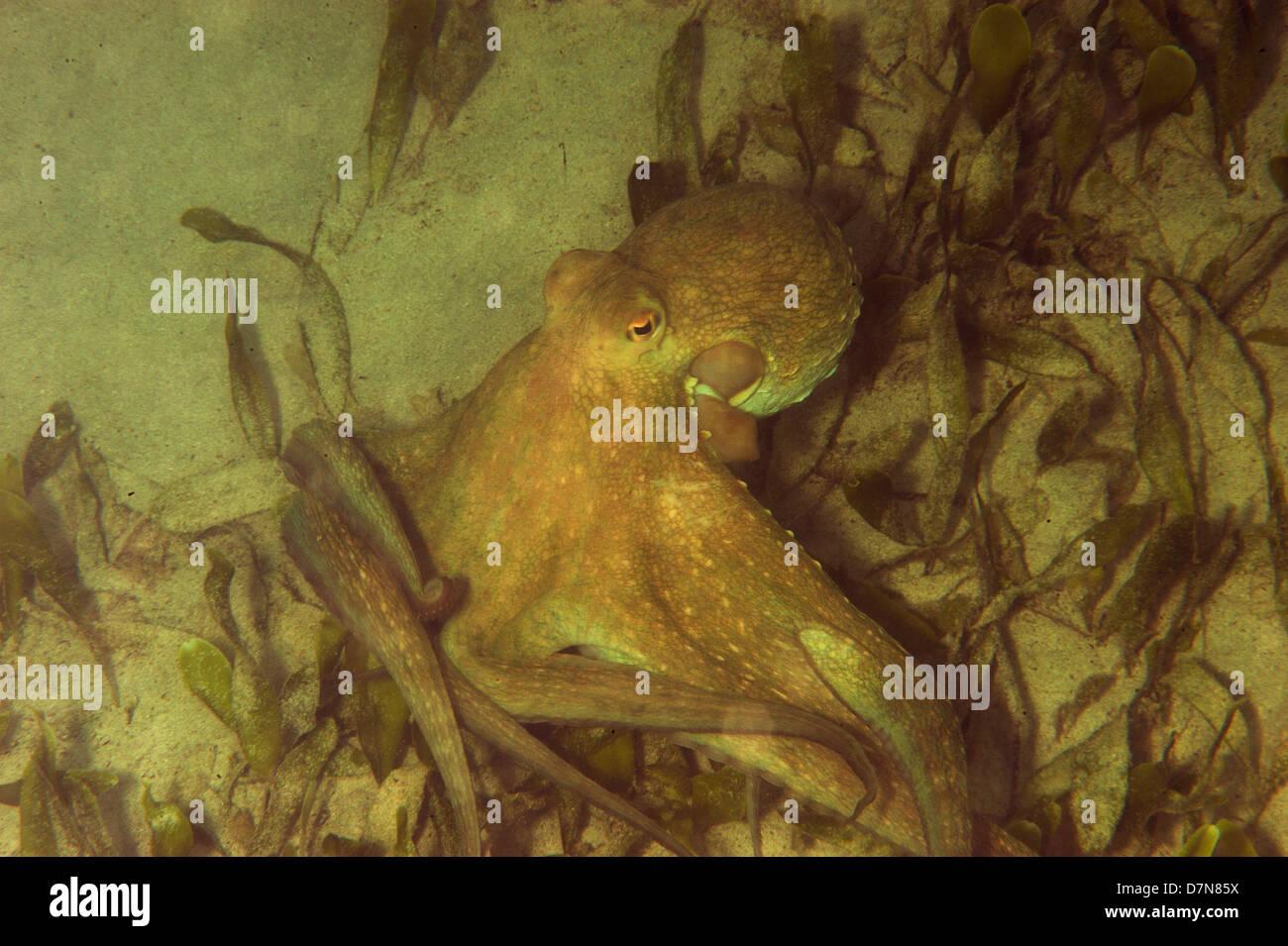 An octopus, plural: octopuses, octopi, or octopodes, is a cephalopod mollusc of the order Octopoda. - Stock Image