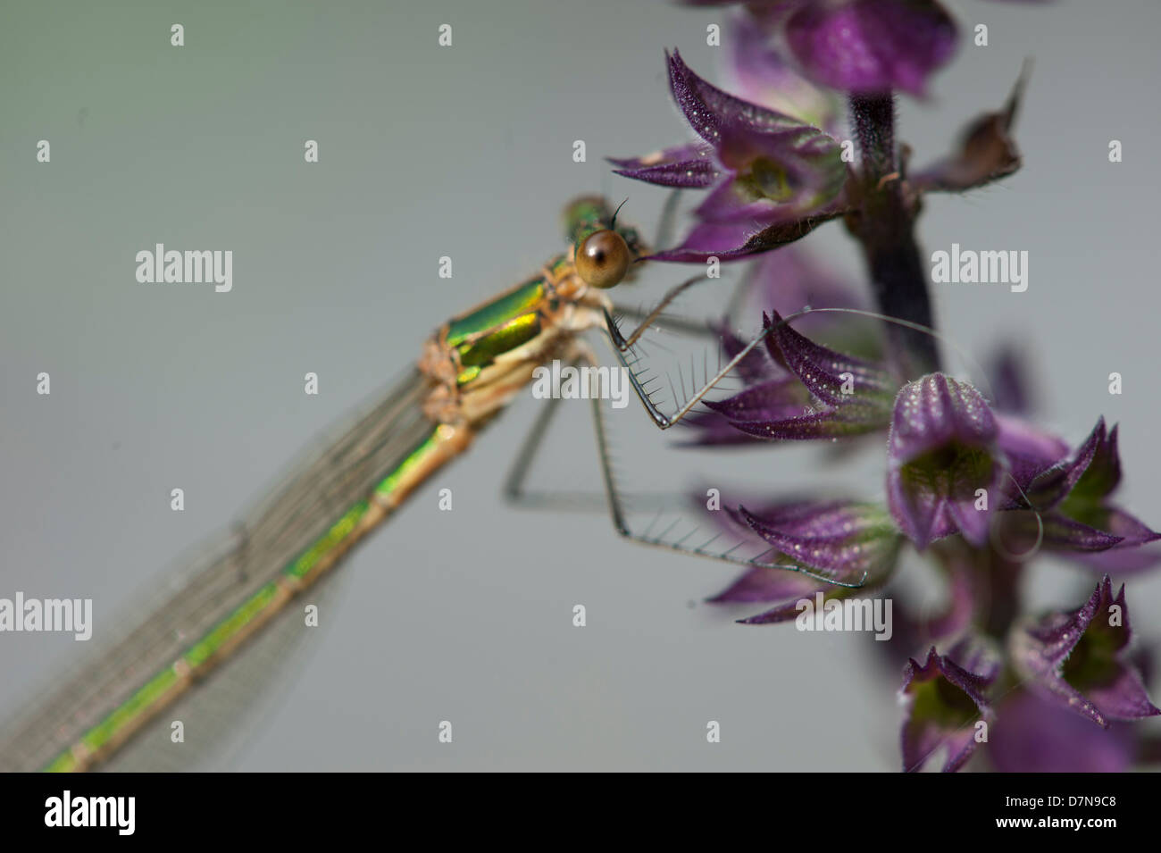 (Dragonflies) Odonata is an order of carnivorous insects - Stock Image
