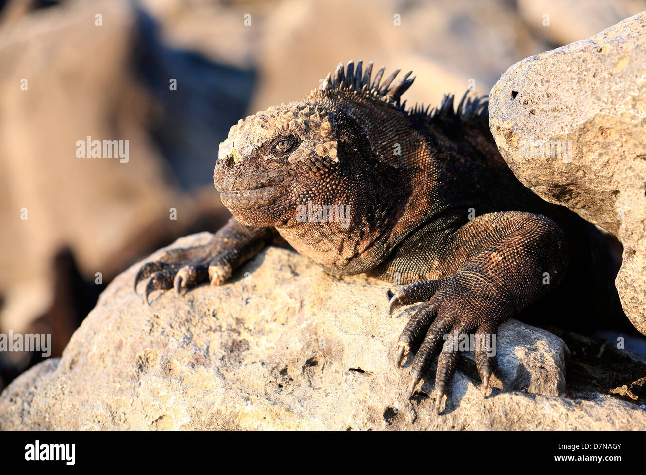 Marine iguana sunbathing on volcanic rock, Galapagos Islands - Stock Image