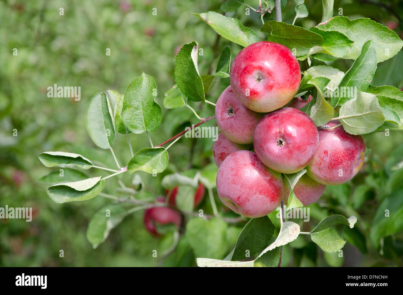 New York, Lafayette. Typical apple orchard in upstate New York at harvest time. - Stock Image