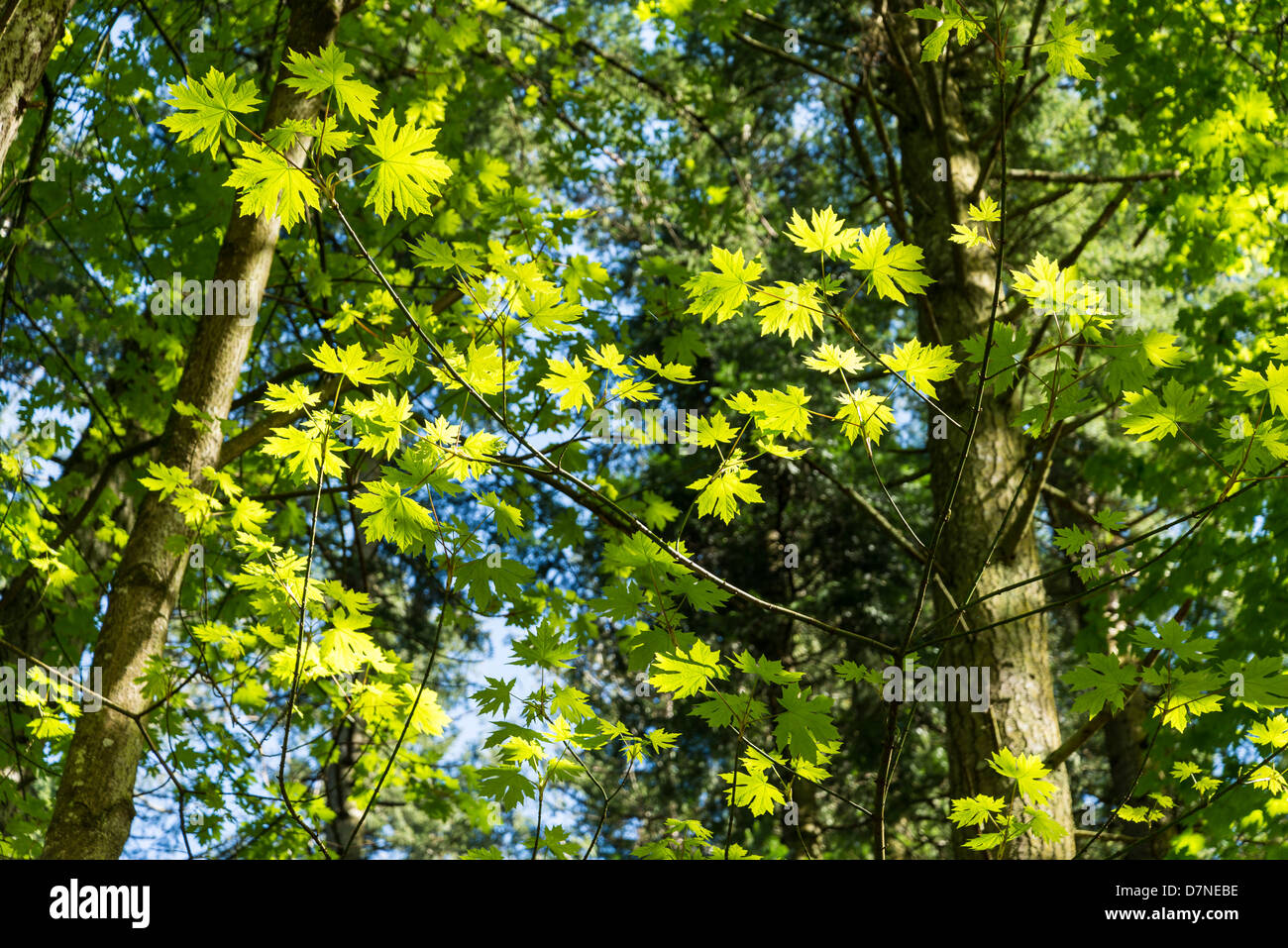Maple trees, Salt Spring Island, British Columbia, Canada - Stock Image