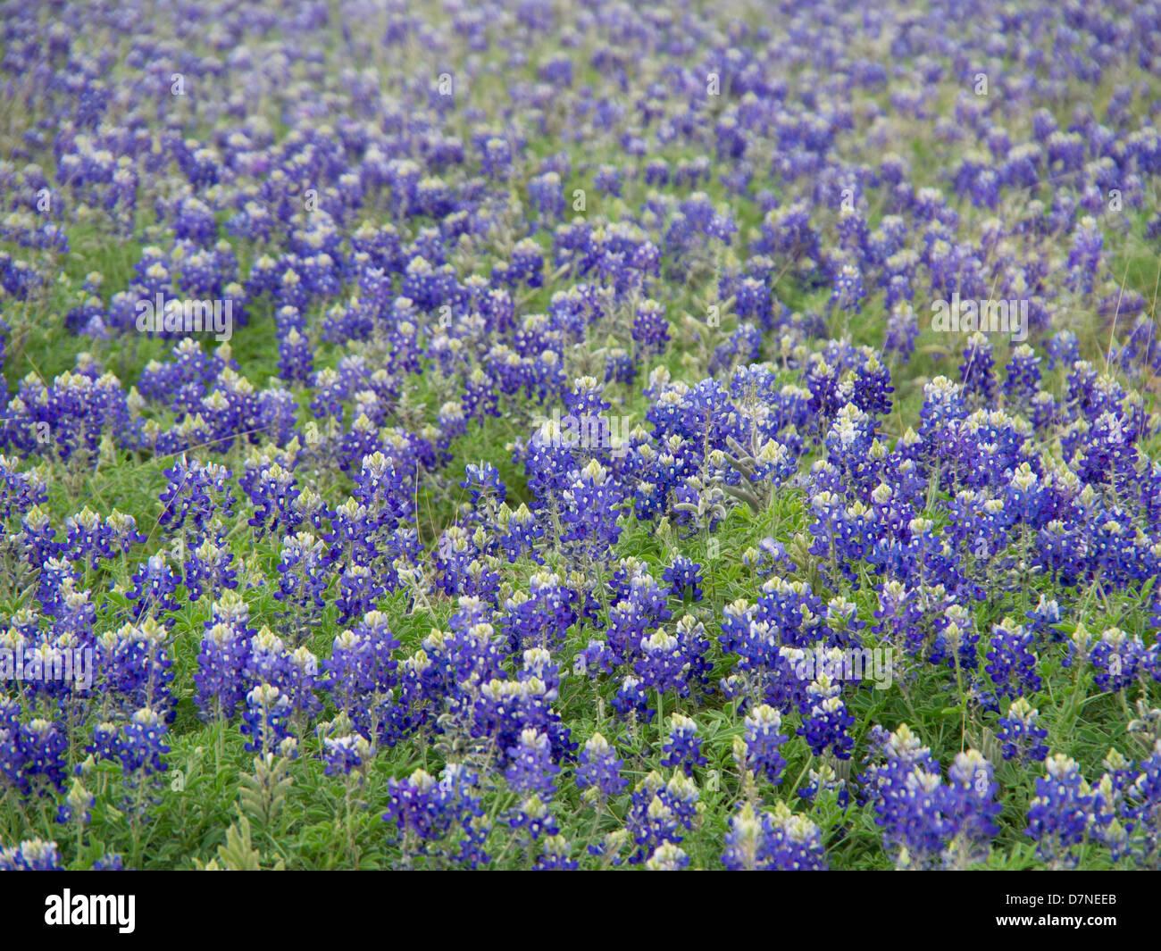 Bluebonnet Texas Stock Photos Bluebonnet Texas Stock Images Alamy
