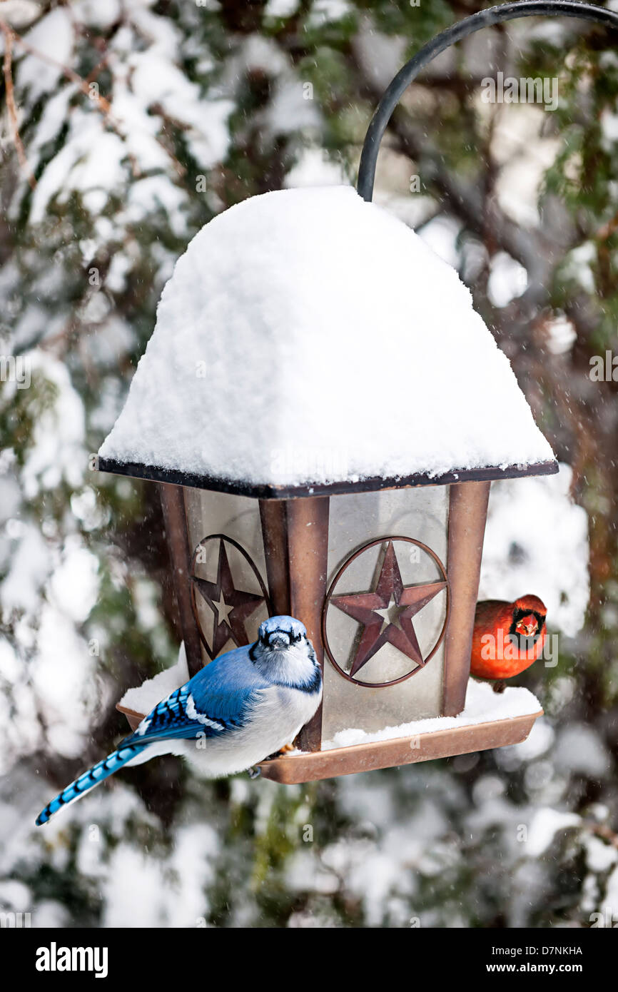 Blue jay and cardinal birds on bird feeder in winter - Stock Image