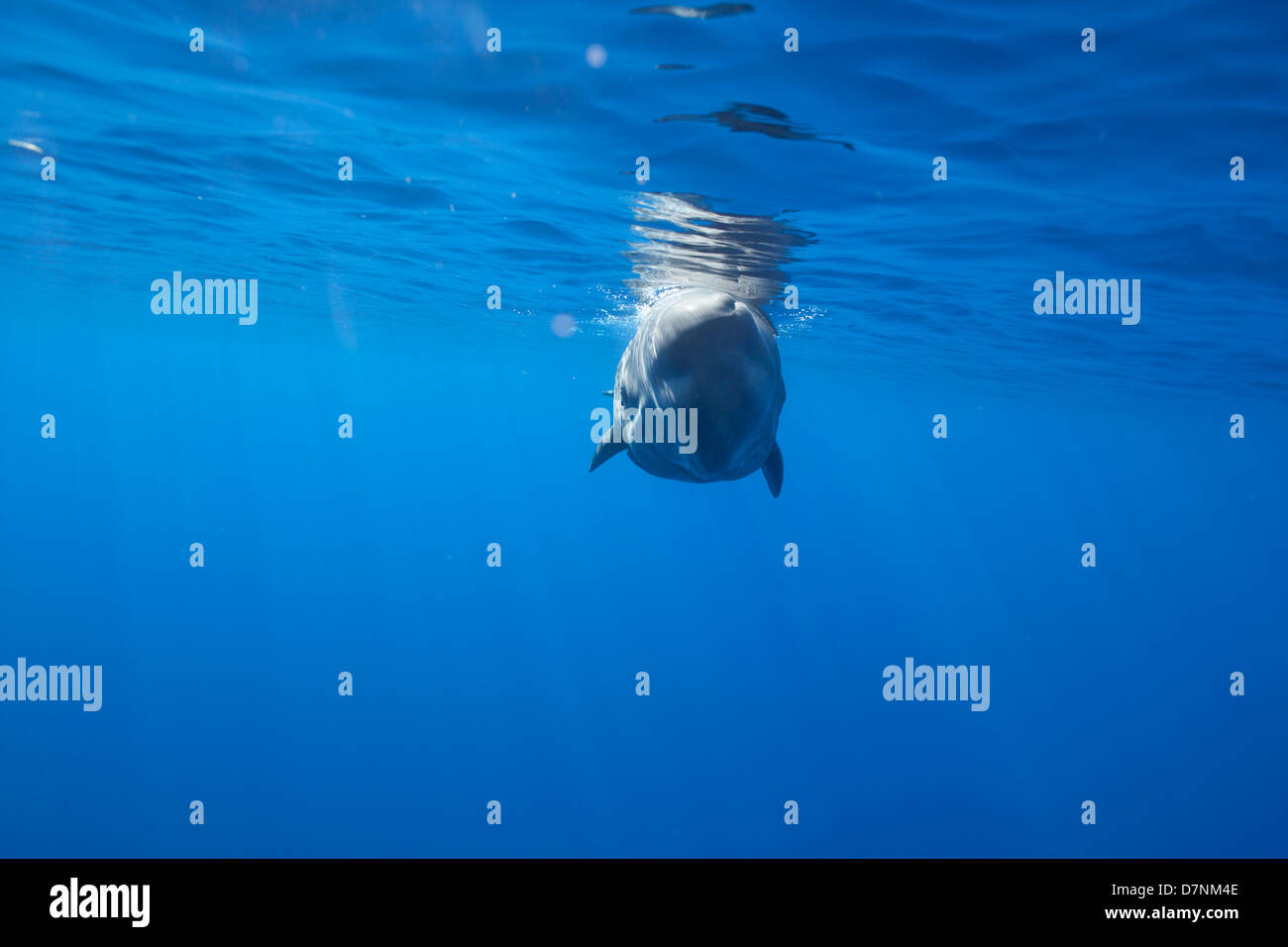 Sperm Whale Calf ( Physeter Macrocephalus ) - Stock Image