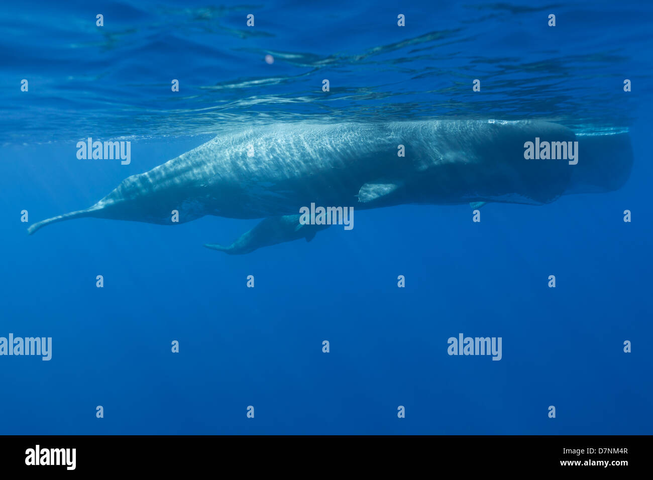 Sperm Whales with calf ( Physeter Macrocephalus ) - Stock Image