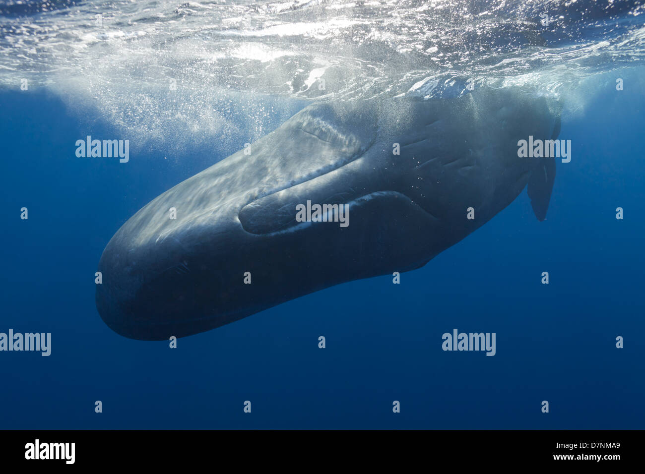 Sperm Whale ( Physeter Macrocephalus ) - Stock Image