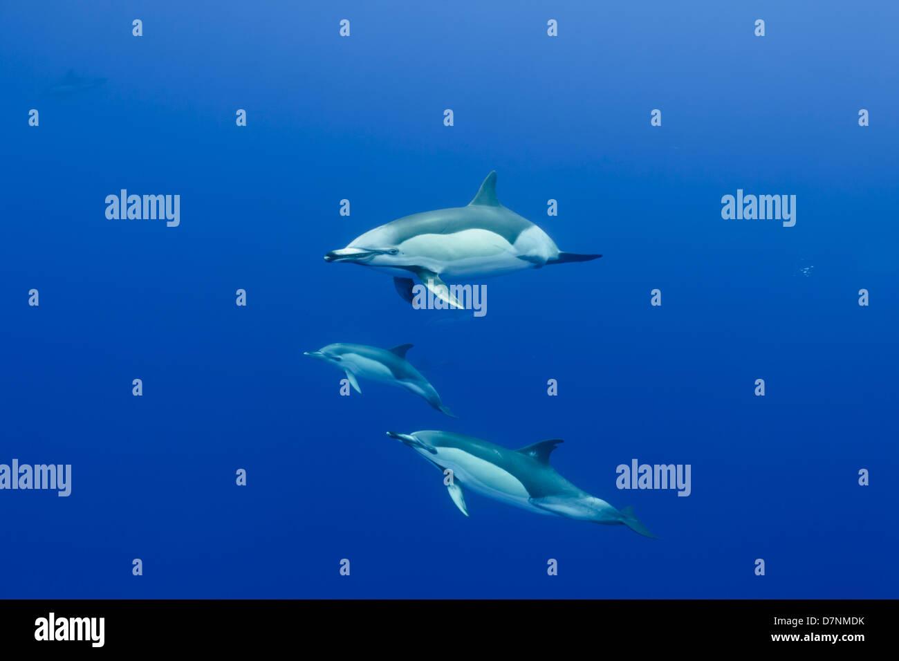 Common dolphins ( Delphinus delphis ) - Stock Image