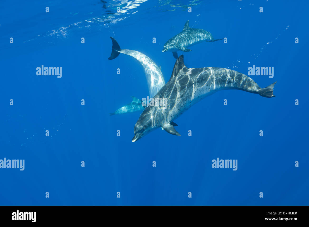 Atlantic Spotted dolphins ( Stenella frontalis ) - Stock Image