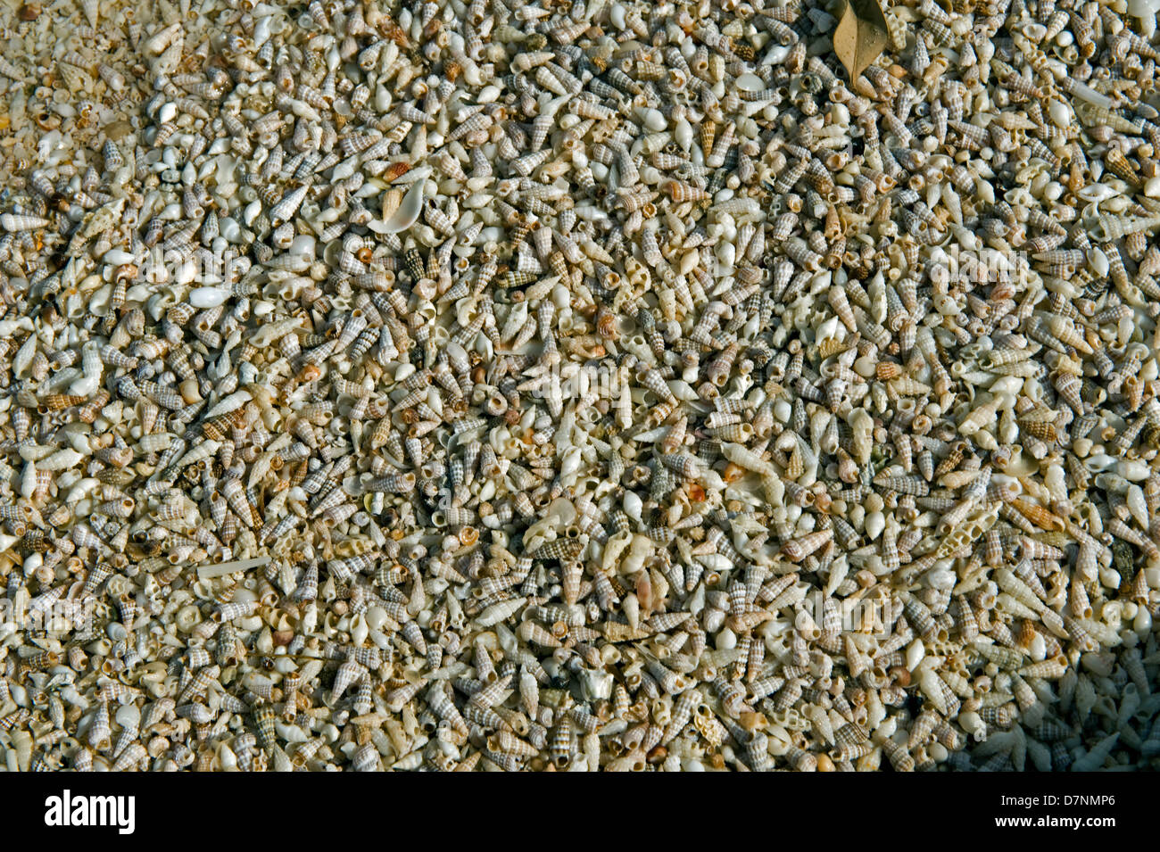Beach with larger numbers of small sea shells, Abu Dhabi, United Arab Emirates - Stock Image