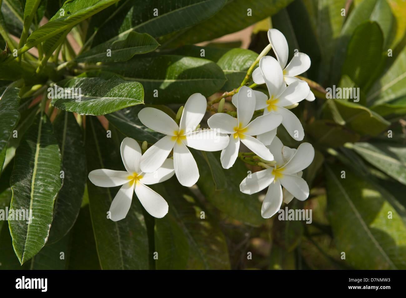 White plumeria, Plumeria alba, flowers and dusty leaves, Abu Dhabi - Stock Image