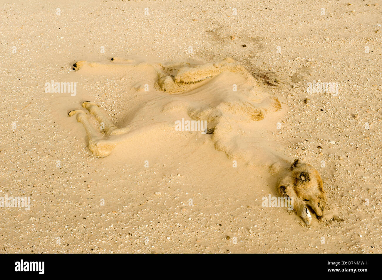 A dry long dead camel calf carcass half buried by sand in the desert, Abu Dhabi - Stock Image
