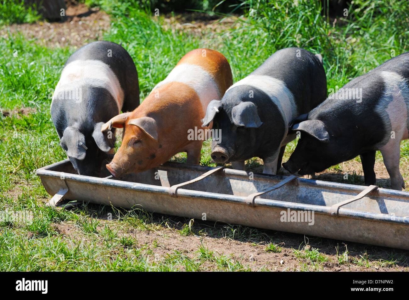 British saddleback pigs eating from a trough - Stock Image