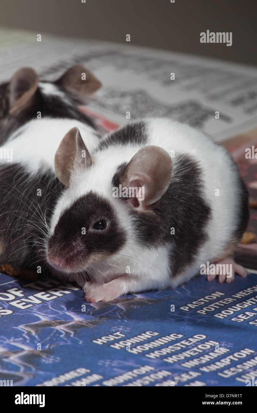 Domestic Pet Black and White or Pied Mice (Mus musculus). Stock Photo