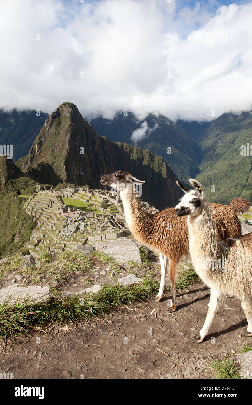 Machu Picchu with two llamas on foreground - Stock Image