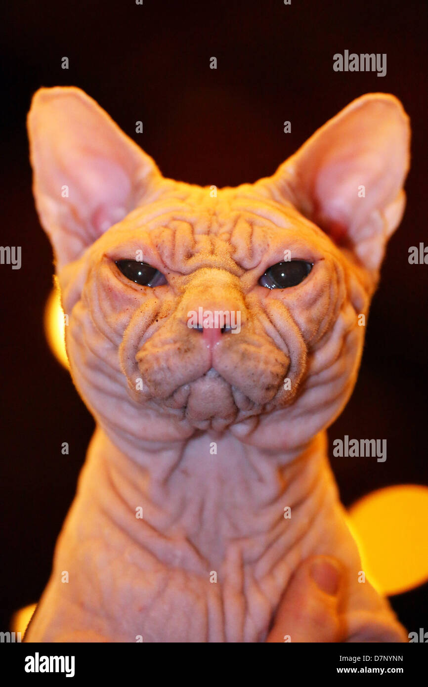 London, UK. 11th May 2013. Artemis aka Wrynkleskyns Mementi Mori the  hairless Sphynx Cat at the London Pet Show - Stock Image
