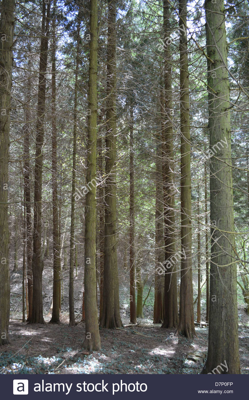Trunks of tall trees in woodland. - Stock Image