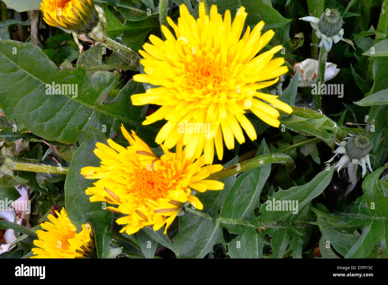 DANDELION FLOWER YELLOW - Stock Image