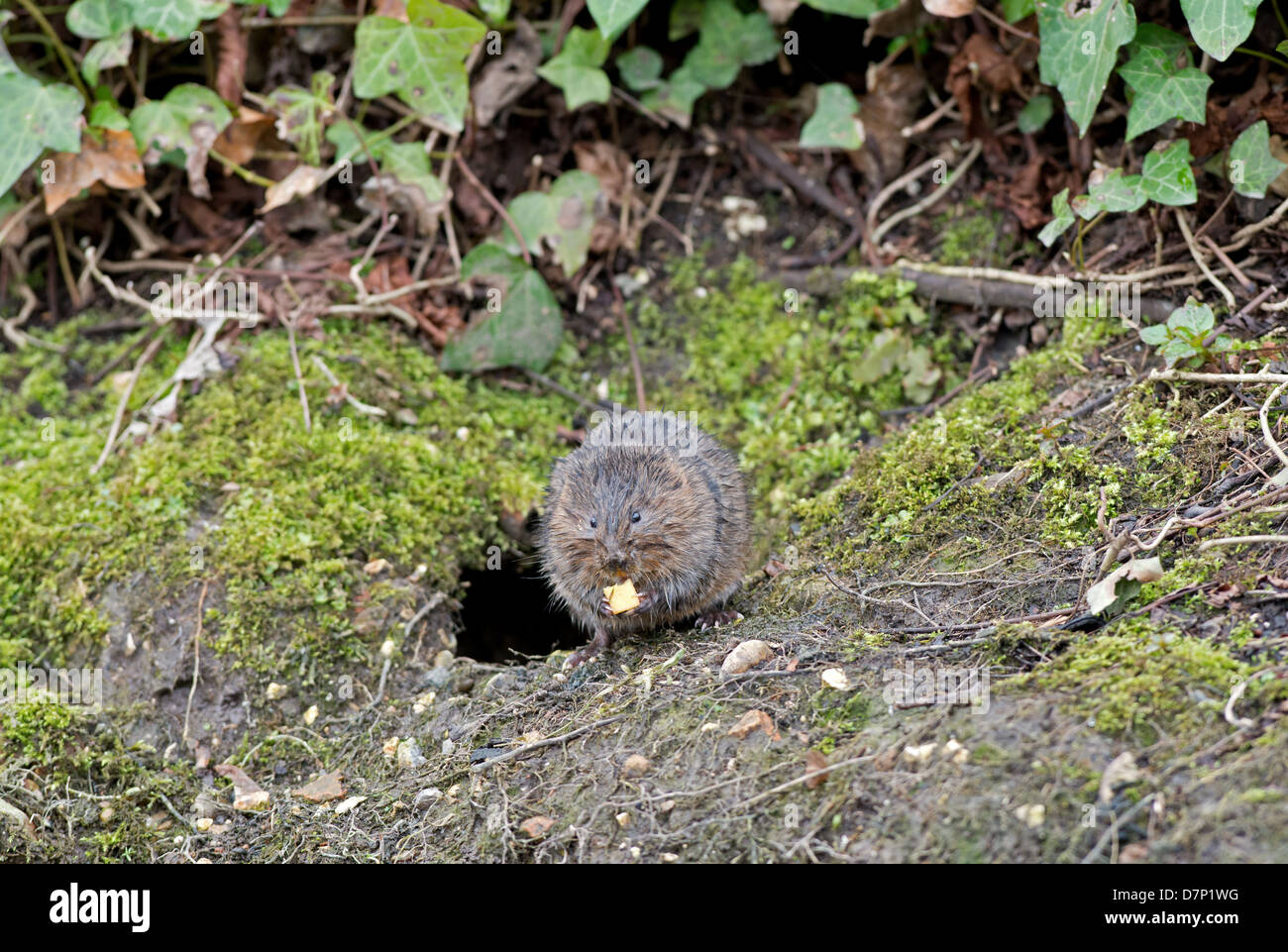 Water Vole - Arvicola terrestris feeding. Spring. UK - Stock Image