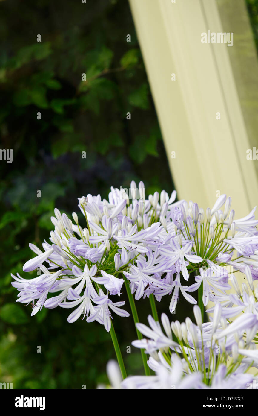 PALE BLUE AGAPANTHUS FLOWERS IN CONSERVATORY Stock Photo