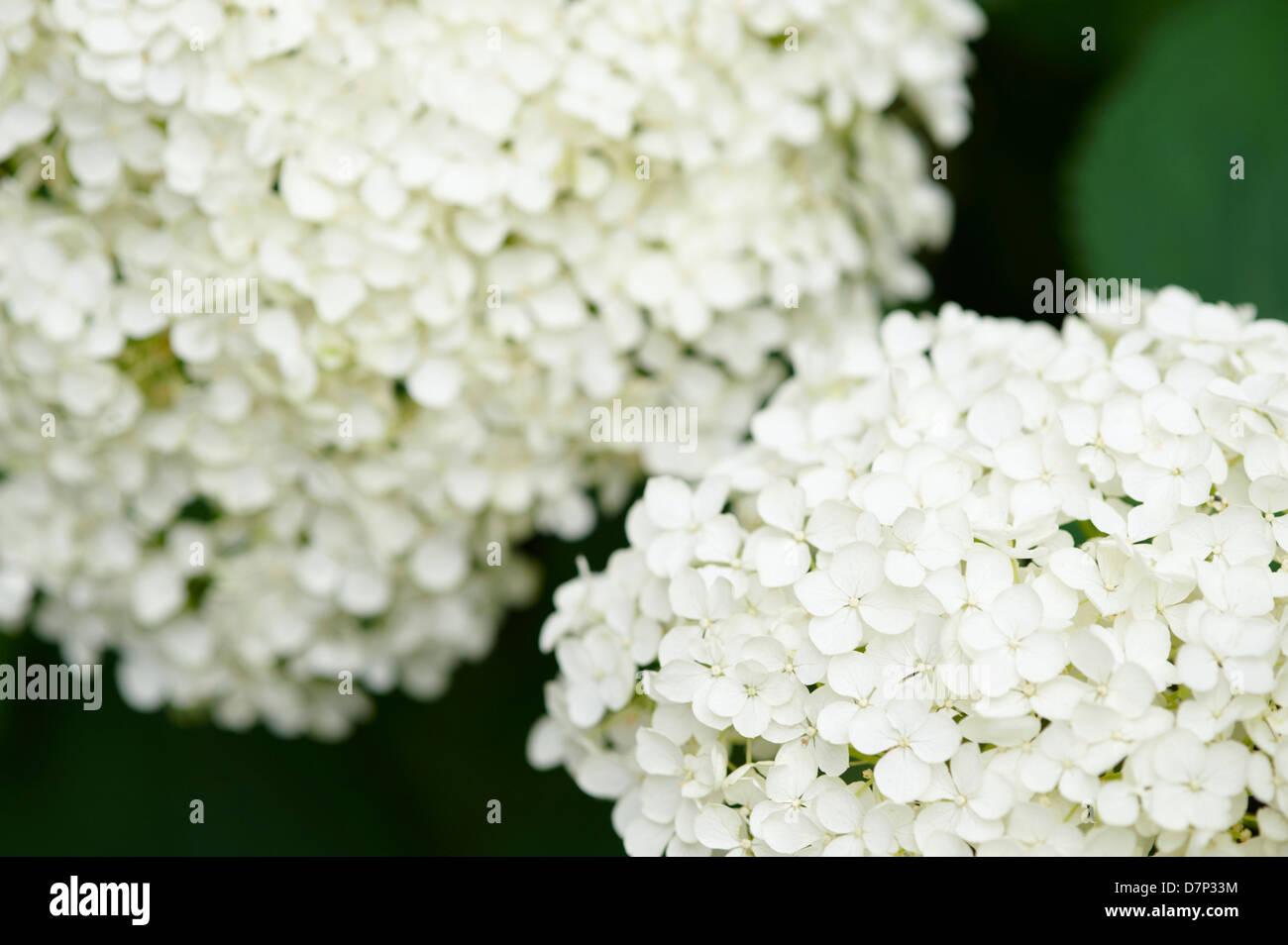 Annabelle Flowers