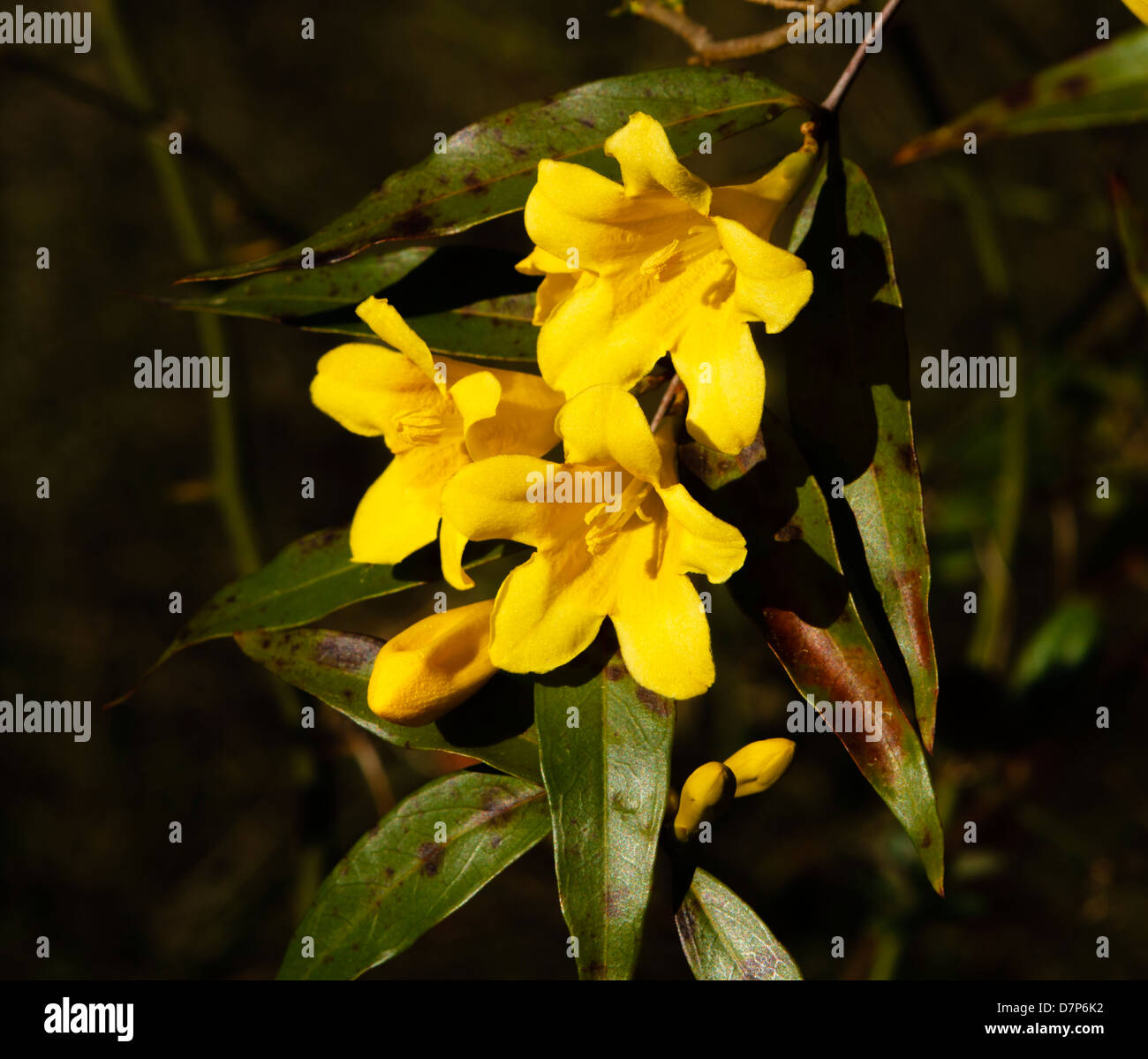 Flower cluster in foreground stock photos flower cluster in a vine of carolina yellow jasmine gelsemium sempervirens in the afternoon sunlight this izmirmasajfo