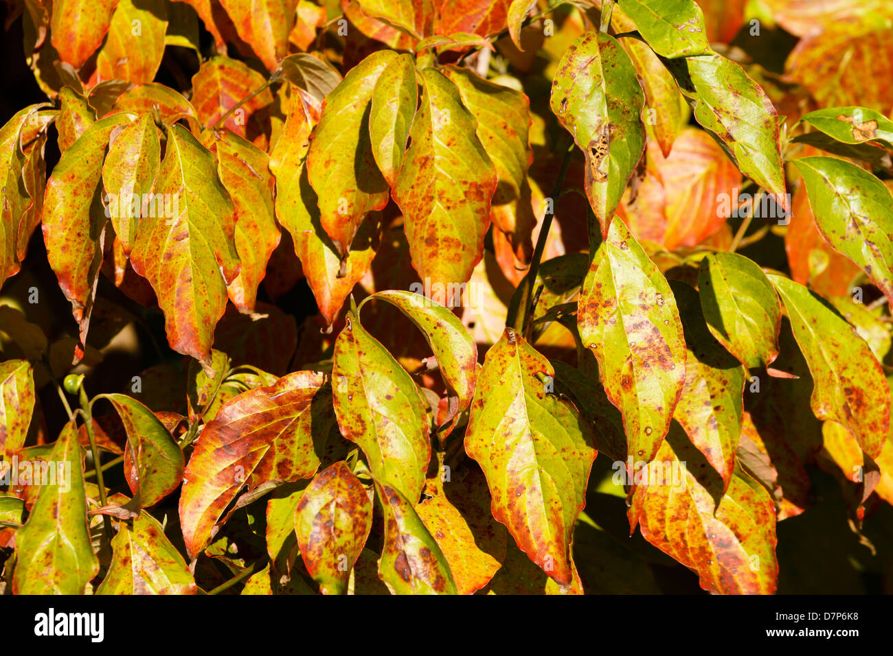 A Bunch Of Colorful Dogwood Tree Leaves In The Late Golden Hour