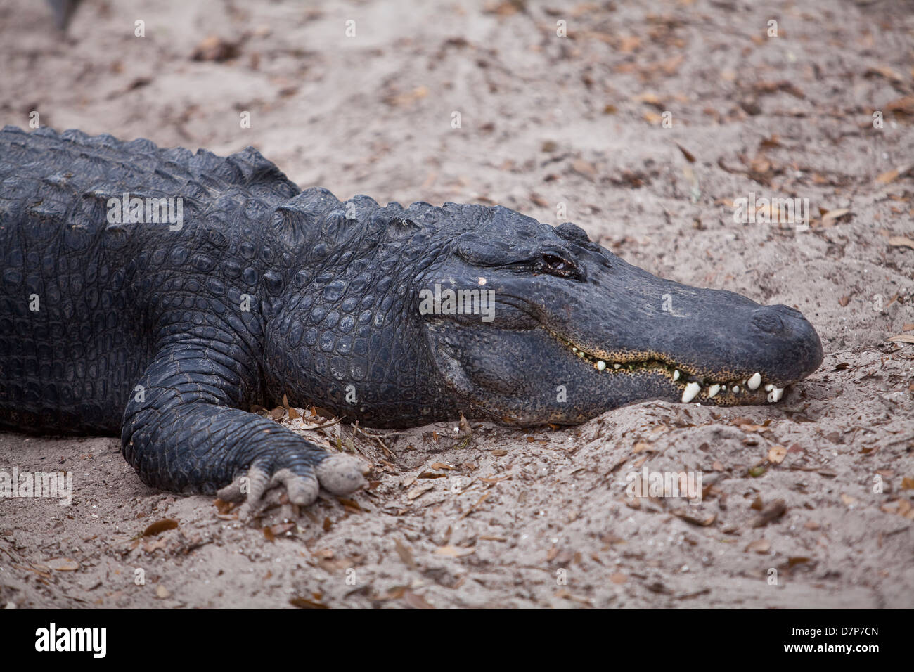 An american alligator is seen at Alligator farm Zoological Park in St. Augustine, Florida - Stock Image