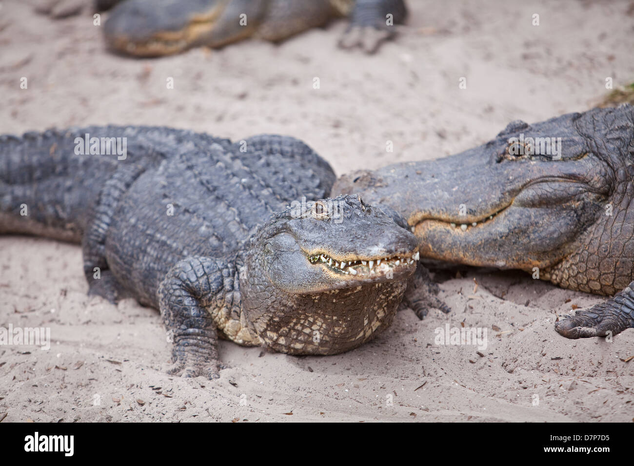 American alligators are seen at Alligator farm Zoological Park in St. Augustine, Florida - Stock Image