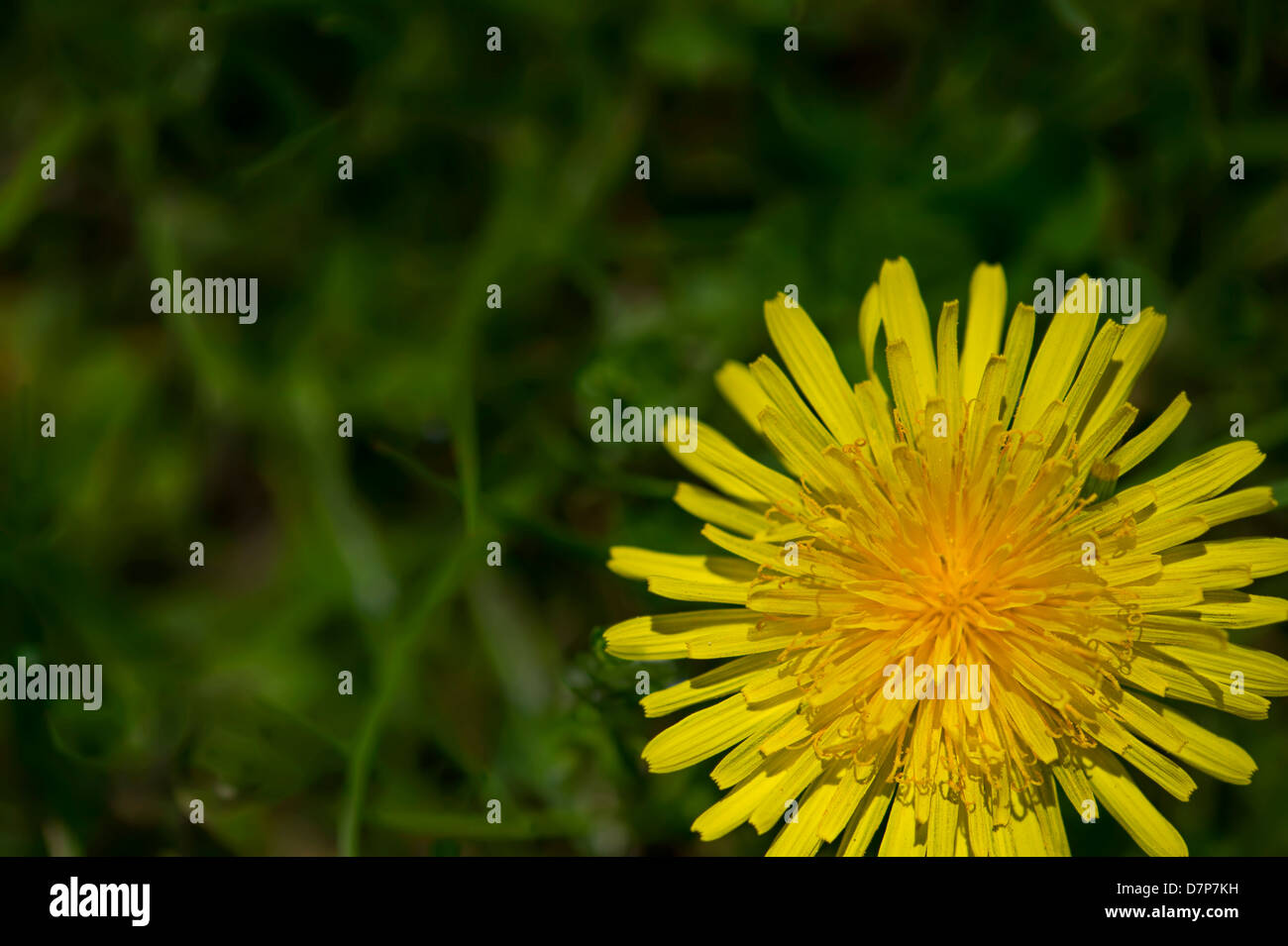 Yellow Dandelion Flower - Stock Image
