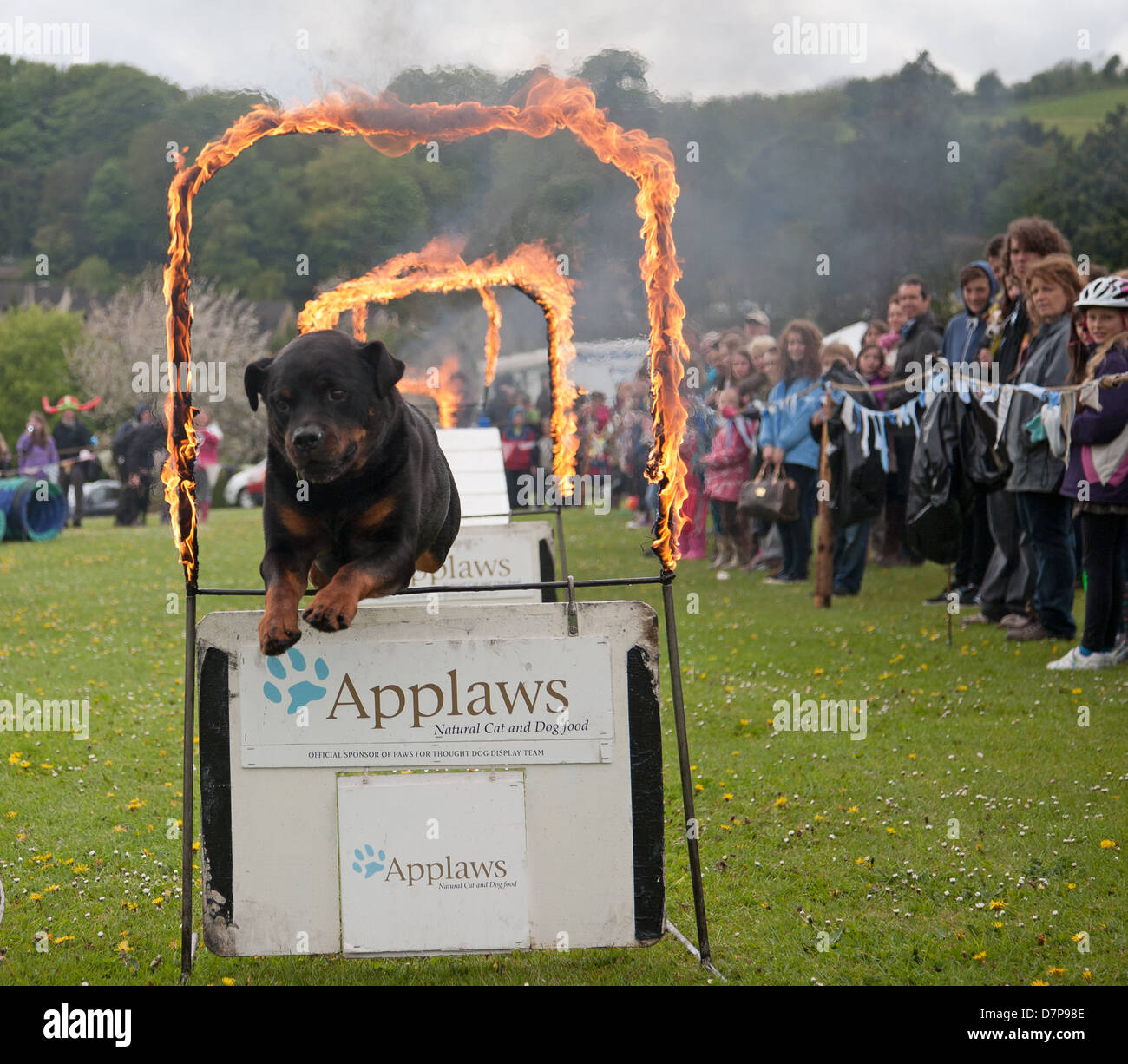 Rottweiler dog jumping through a ring of fire at The Randwick May day Festival Gloucestershire England - Stock Image