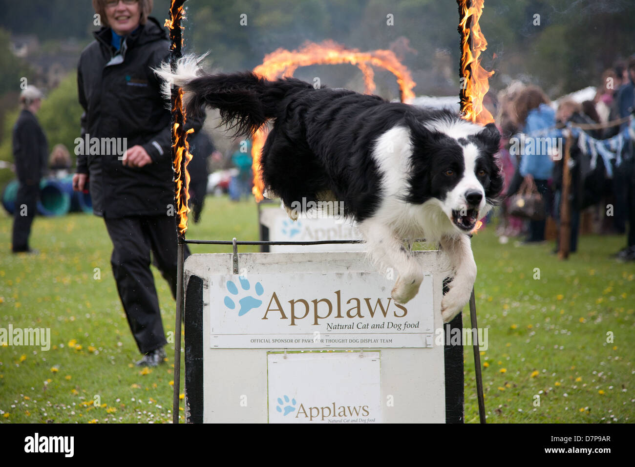 A Border Collie dog jumping through a ring of fire at The Randwick May day Festival Gloucestershire England - Stock Image