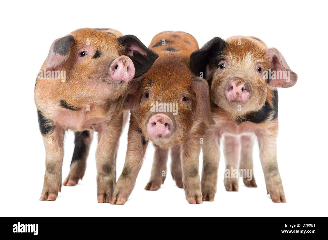 Oxford Sandy and Black piglets, 9 weeks old, against white background - Stock Image