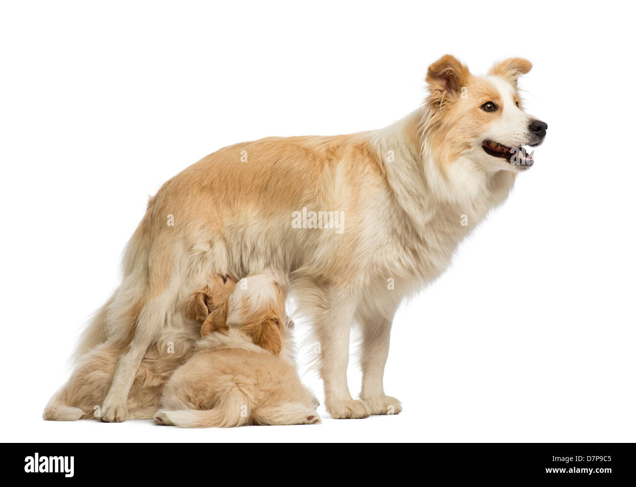 Border Collie puppies, 6 weeks old, suckling mother, 2.5 years old, in front of white background - Stock Image