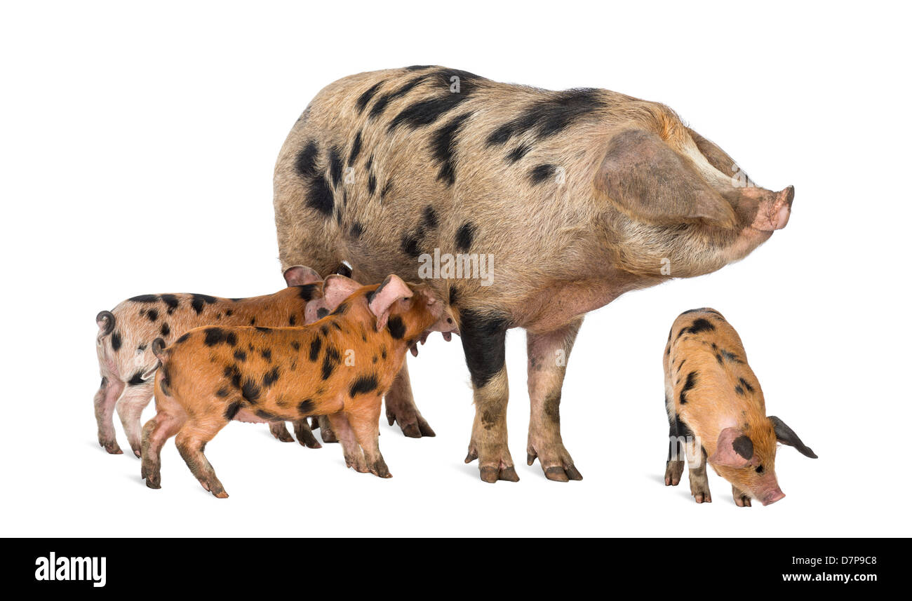 Oxford Sandy and Black piglets, 9 weeks old, suckling sow against white background - Stock Image