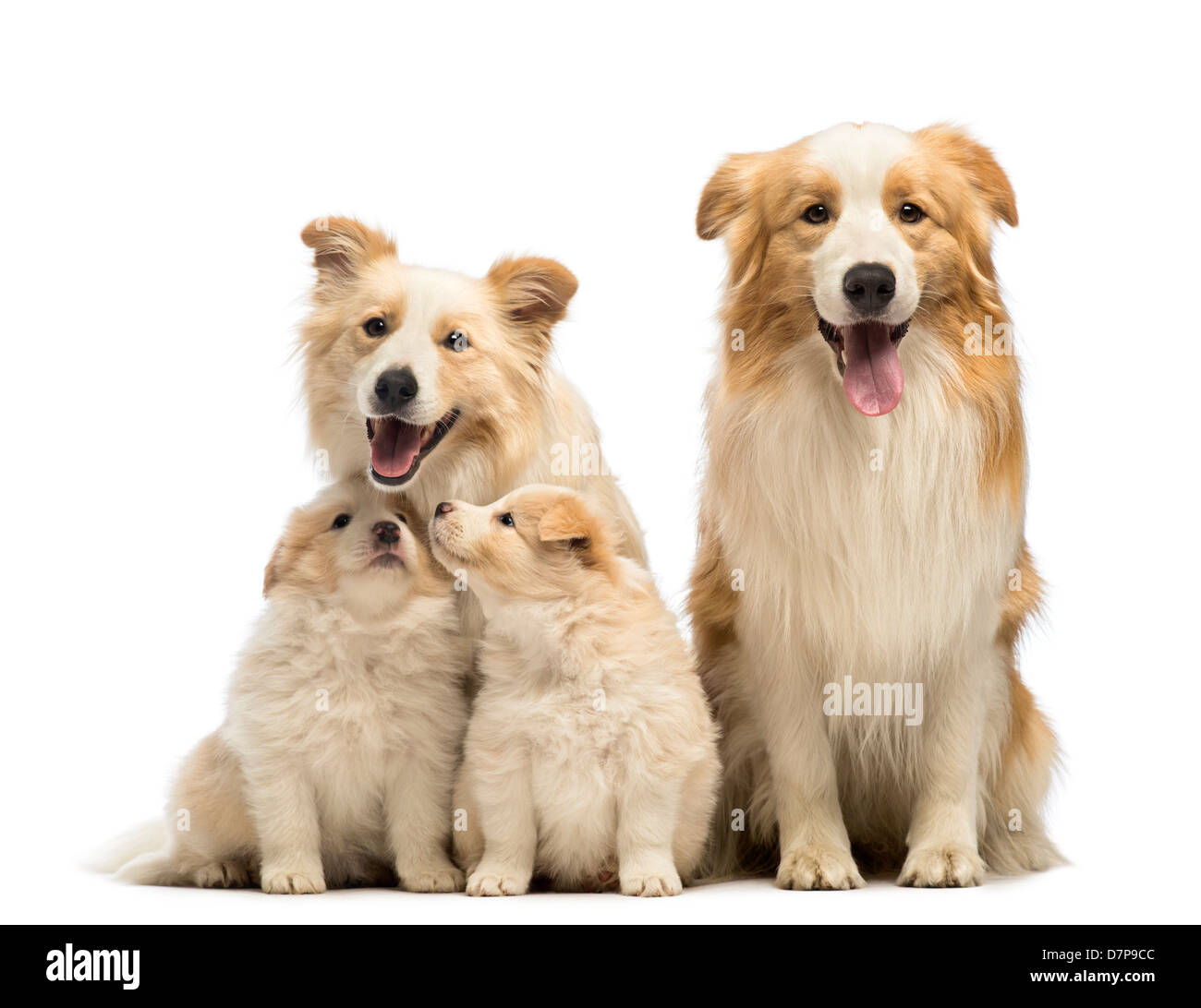 Border collie family, father, mother and puppies, sitting in front of white background Stock Photo