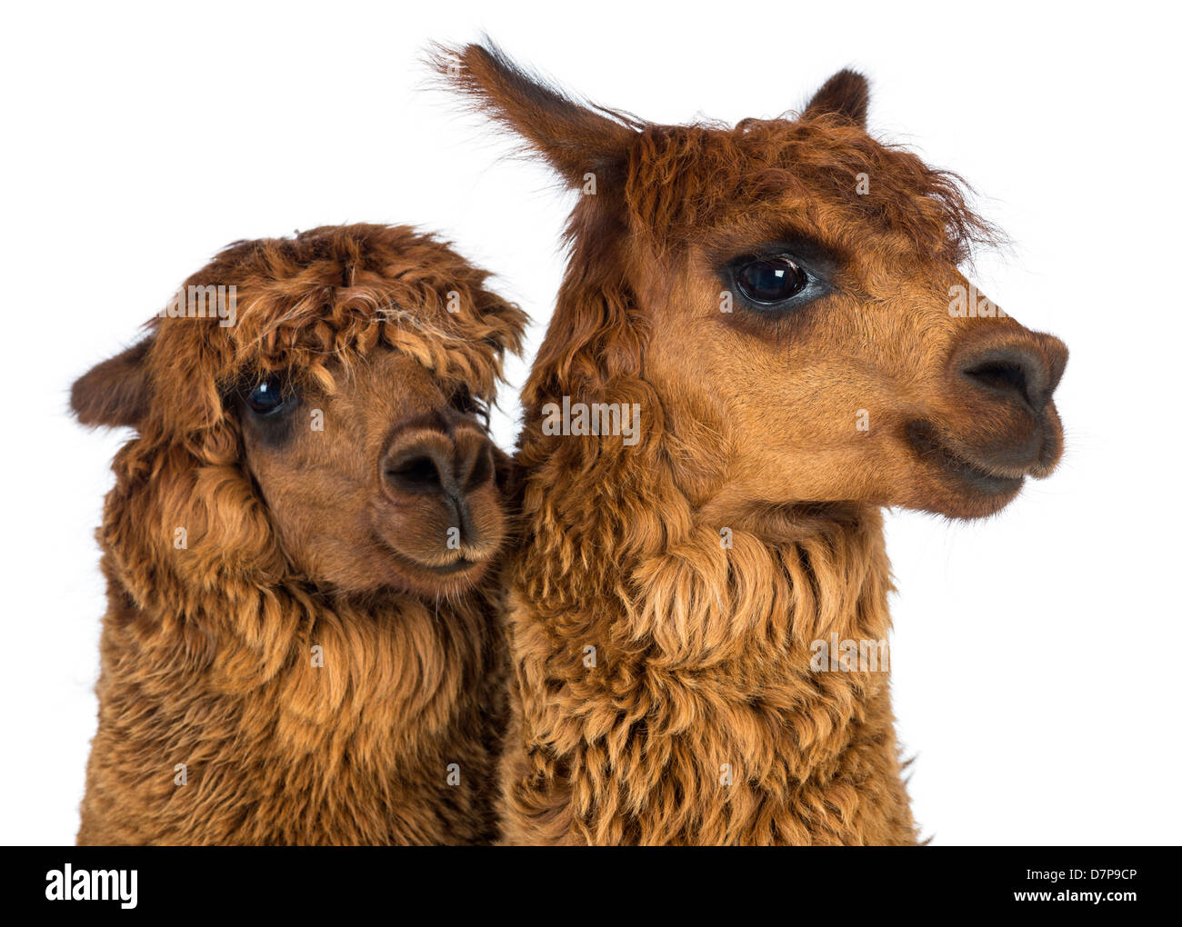 Close-up of two Alpacas, Vicugna pacos, looking at the camera against white background Stock Photo