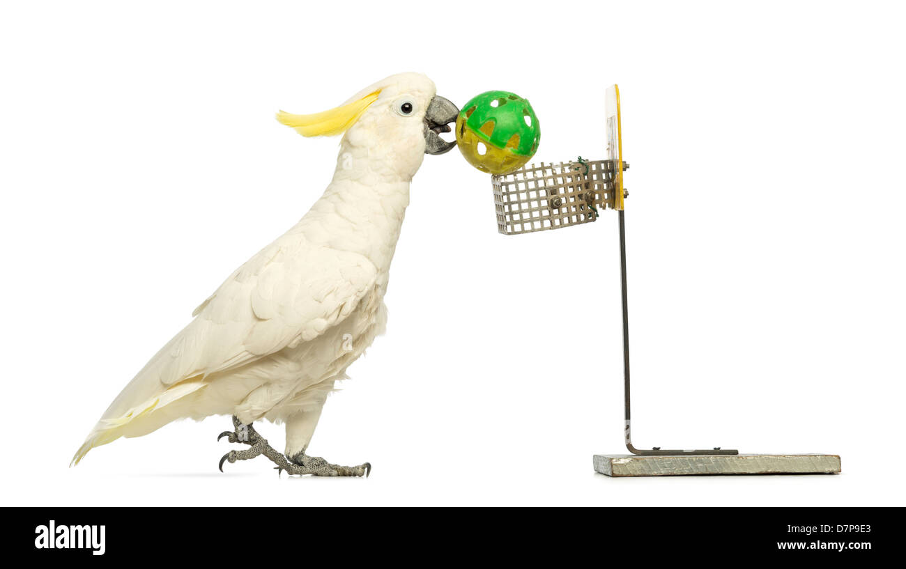 Sulphur-crested Cockatoo, Cacatua galerita, 30 years old, playing basket ball in front of a white background - Stock Image