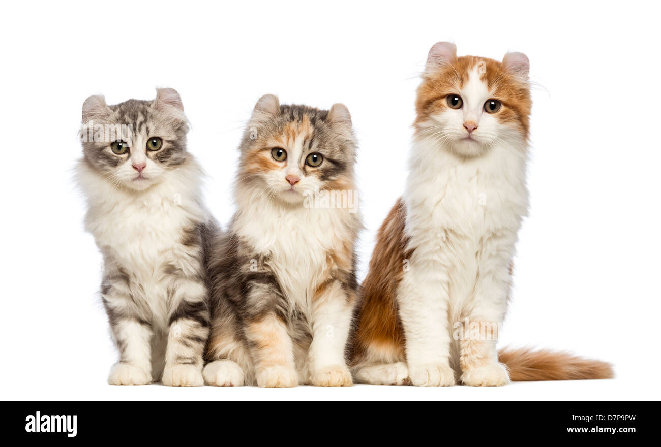 Three American Curl kittens, 3 months old, sitting and looking at the camera against white background - Stock Image