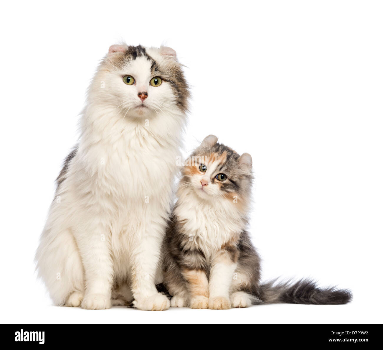 American Curl kitten, 3 months old, sitting and looking at camera with it's mother against white background - Stock Image