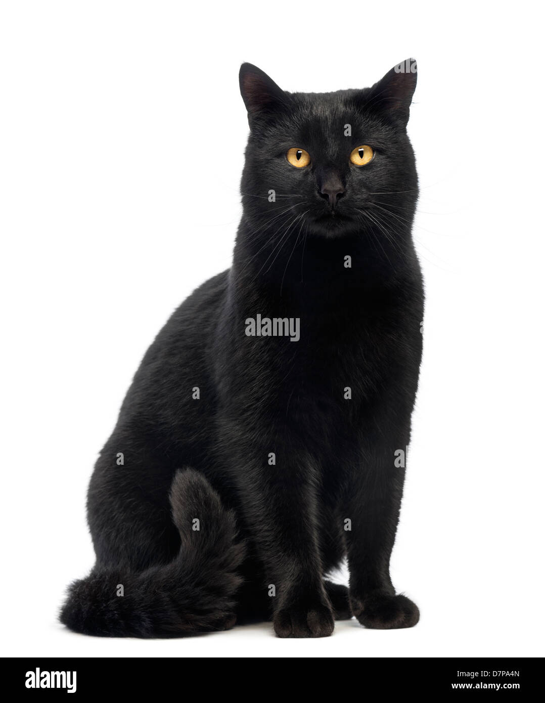 Black Cat sitting and looking at the camera against white background - Stock Image