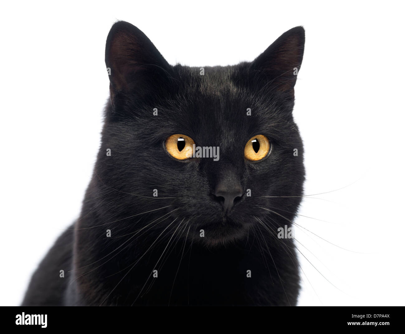 Close-up of a Black Cat against white background - Stock Image