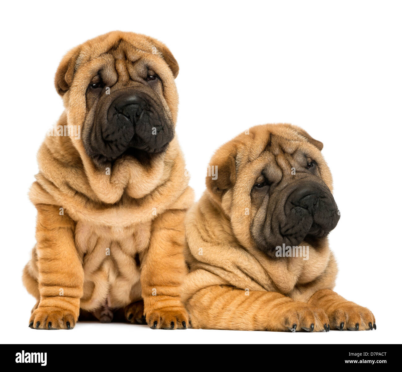 Two Shar pei puppies sitting and lying next to each other against white background - Stock Image