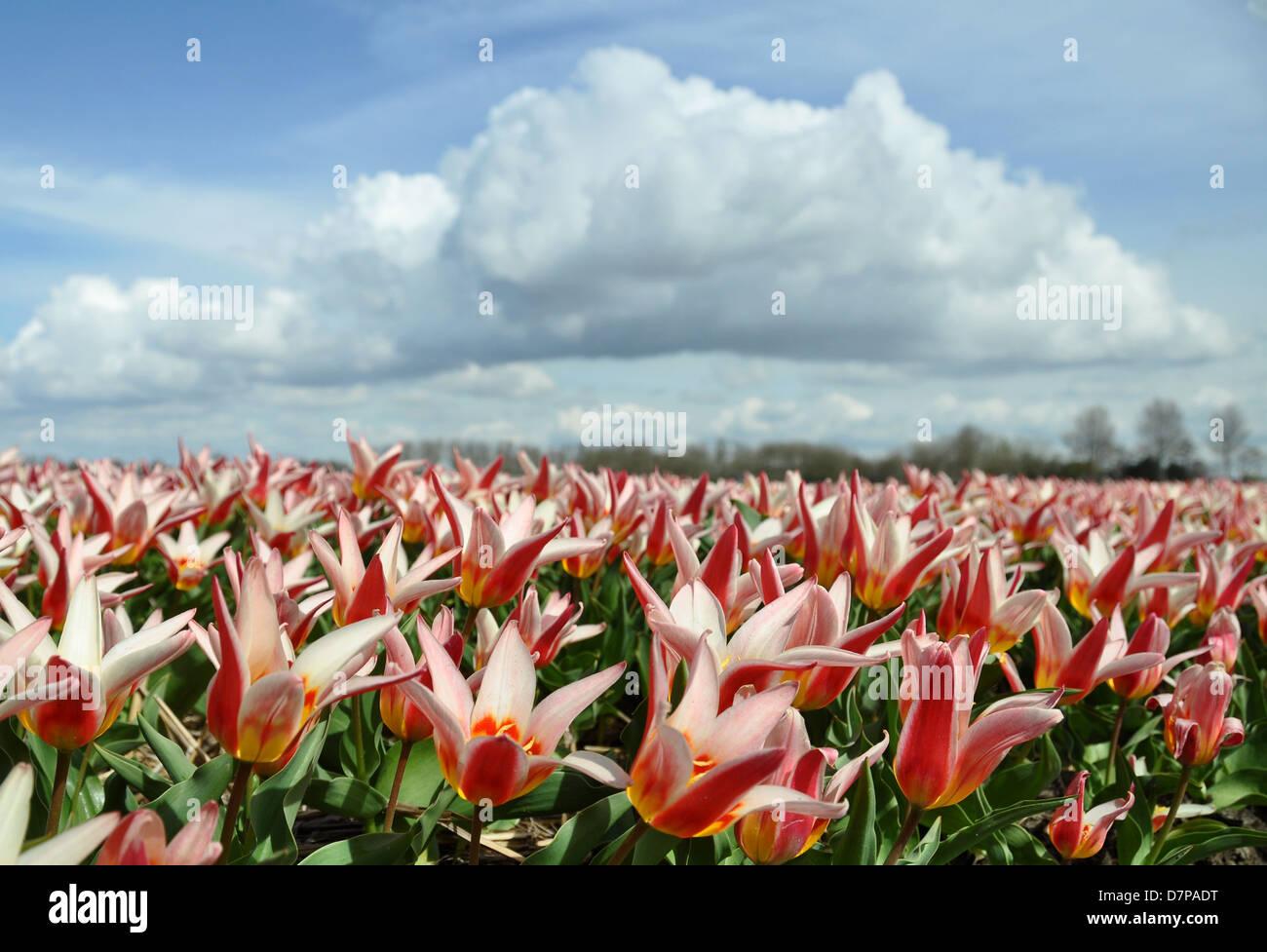 Tulips, Holland, Netherlands Stock Photo